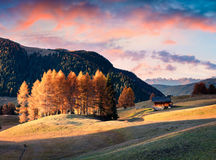 Incredible sunset in Alpe di Siusi with beautiful yellow larch t Royalty Free Stock Photography