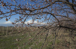 Incredible view on Ararat Mount and vineyards through branches of blossom apricot tree. Armenia. Incredible view on Ararat Mount and vineyards through the Stock Images