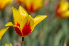Incredible yellow and red fully opened tulip in a field or meadow. On a bright spring day royalty free stock photos