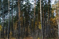 Incrediblle siberian forest royalty free stock photography