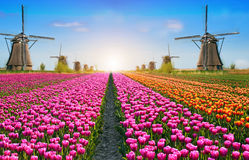 Incredibly beautiful cauliflower spring landscape with flowers a. Nd air Mill in Holland, Europe at dawn. harmony, relaxation, anti-stress, meditation - concept royalty free stock photos