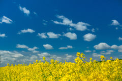 Incredibly beautiful landscape of flowering buckwheat field Royalty Free Stock Photography