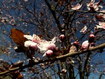 Incredibly beautiful pink flowers on branches of wild apples in the early days of spring in Turkey. In the background of the tree a clear blue sky is visiable stock images