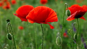 Incredibly beautiful poppy flowers stock video