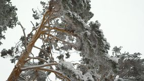 Incredibly beautiful snow-covered tops of pine trees in the forest. Green needles on branches in winter. stock video