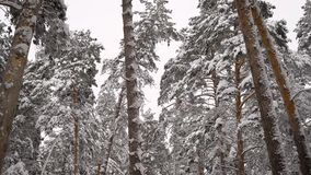 Incredibly beautiful snow-covered tops of pine trees in the forest. Green needles on branches in winter. Camera moves stock footage