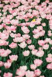 Incredibly beautiful spring pink tulips stock photos
