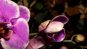 Incremento dei fiori dell'orchidea video d archivio