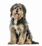 Incroci il cane che si siede e che esamina la macchina fotografica Fotografia Stock Libera da Diritti