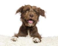 Incroci il cane che si trova sulla pelliccia bianca e sullo sguardo Fotografia Stock Libera da Diritti