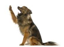 Incroci il cane fra un Malinois e cercare del puntatore Fotografia Stock Libera da Diritti