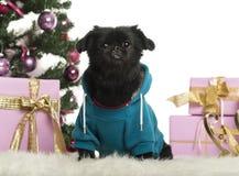Incroci il cane vestito e che si siede davanti alle decorazioni di Natale Fotografia Stock