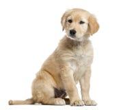 Incroci il cucciolo di Labrador, 2 mesi, isolati su bianco Fotografia Stock