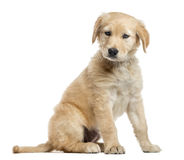 Incroci il cucciolo di Labrador, 2 mesi, isolati su bianco Immagine Stock Libera da Diritti