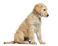 Incroci il cucciolo di Labrador, 2 mesi, isolati su bianco Fotografia Stock Libera da Diritti