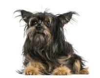 Incroci la menzogne del cane, distogliente lo sguardo, 9 mesi Fotografie Stock Libere da Diritti