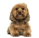 Incroci la menzogne del cane, esaminante la macchina fotografica Immagini Stock
