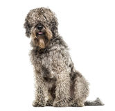 Incroci la seduta del cane, 6 anni, isolati Fotografia Stock Libera da Diritti