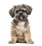 Incroci la seduta del cane, 3 anni, isolati Fotografia Stock Libera da Diritti