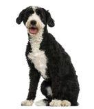 Incroci la seduta del cane, ansimante, 2 anni Fotografie Stock