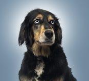 Incroci la seduta del cane, cercante, sul fondo blu di pendenza Immagine Stock