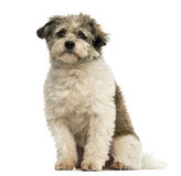 Incroci la seduta del cane, esaminante la macchina fotografica, isolata Fotografie Stock Libere da Diritti