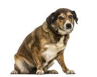 Incroci la seduta del cane, esaminante la macchina fotografica, isolata Fotografie Stock