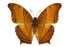 Incrociatore (farfalla) Fotografie Stock Libere da Diritti