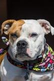 Incrocio del bulldog di Inglese-vittoriano Immagini Stock