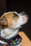 Incrocio del bulldog di Inglese-vittoriano fotografie stock