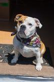 Incrocio del bulldog di Inglese-vittoriano Immagini Stock Libere da Diritti