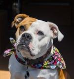 Incrocio del bulldog di Inglese-vittoriano Fotografia Stock Libera da Diritti