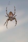 Incrocio del ragno Immagini Stock