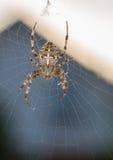 Incrocio del ragno Fotografia Stock Libera da Diritti