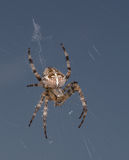 Incrocio del ragno Fotografia Stock