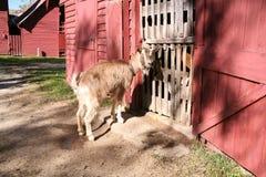 Incrocio della capra Fotografie Stock Libere da Diritti