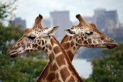 Incrocio della giraffa Fotografie Stock Libere da Diritti