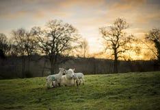 Incrocio delle pecore di Dorset con gli agnelli Primavera, Cotswolds Il Regno Unito Fotografie Stock