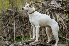 Incrocio di caccia e cane nordico che sta su una radice dell'albero caduto Fotografia Stock Libera da Diritti