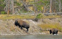 Incrocio di fiume del bisonte americano Immagine Stock
