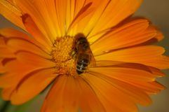 Incrocio di Honey Bee che impollina un fiore arancio immagine stock libera da diritti