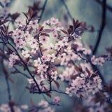 Incrocio giapponese sbalorditivo del fiore di ciliegia elaborato con il contrastin Fotografia Stock Libera da Diritti