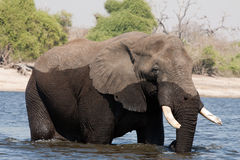 incrocio maschio dell'elefante nel fiume Immagini Stock Libere da Diritti