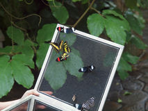Incubação da borboleta Fotos de Stock