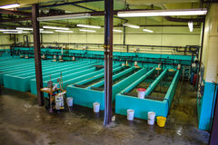 Incubação dos peixes Imagens de Stock
