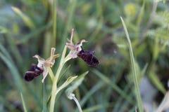 Incubacea del Ophrys de la orquídea de abeja negra Imágenes de archivo libres de regalías
