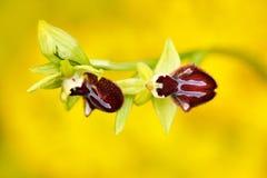 Incubacea del Ophrys, Ophrys oscuro, Gargano en Italia Orquídea salvaje terrestre europea floreciente, hábitat de la naturaleza D Imágenes de archivo libres de regalías