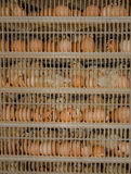 Incubateur d'oeufs de poulet photo stock