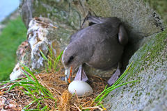Incubation behaviour of Fulmar. Female turns eggs during incubation Royalty Free Stock Photography