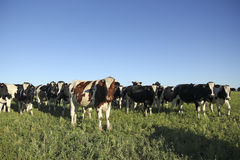 Indústria dos gados bovinos no campo Imagens de Stock Royalty Free